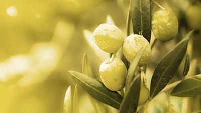 Ветвь с плодами оливы