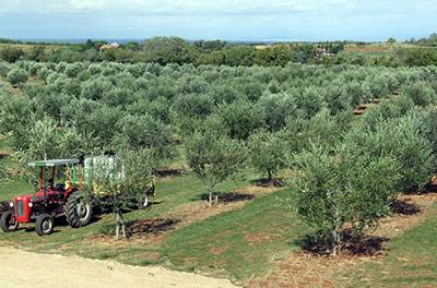 Плантация оливовых деревьев