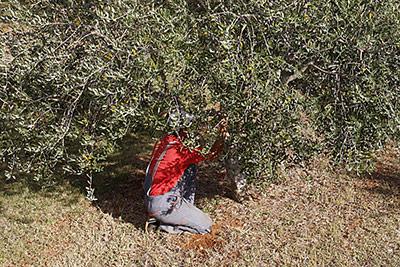 Обработка оливкового дерева